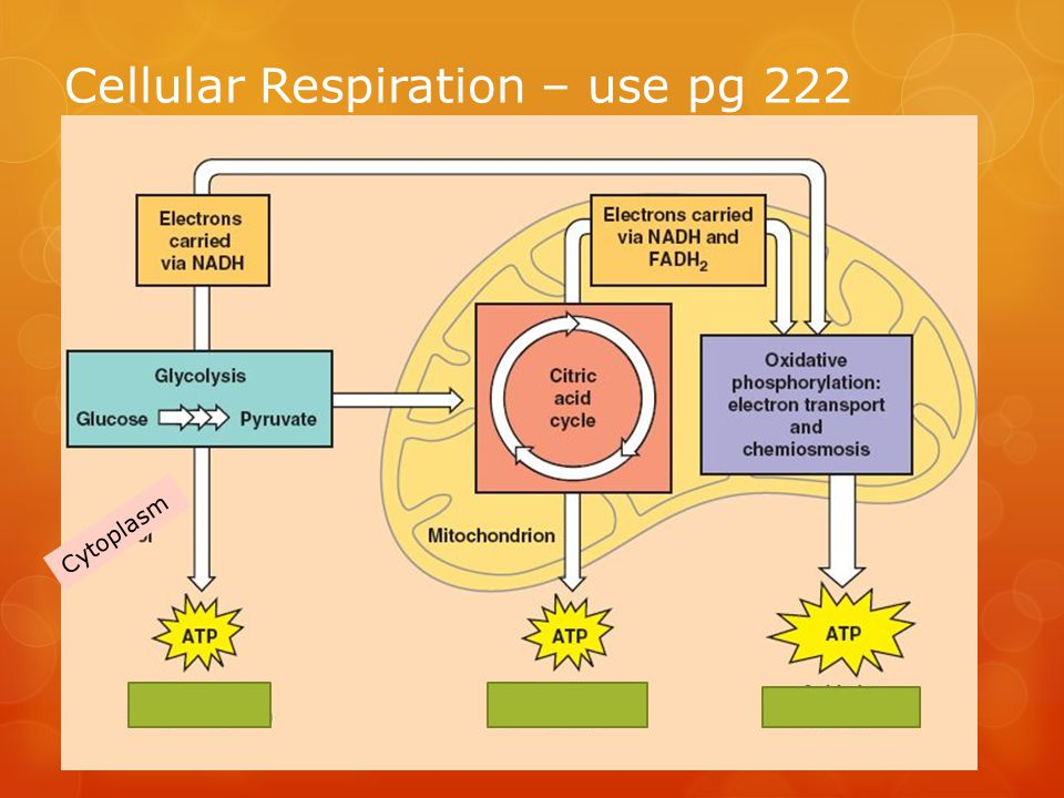 Cellular Respiration – use pg 222