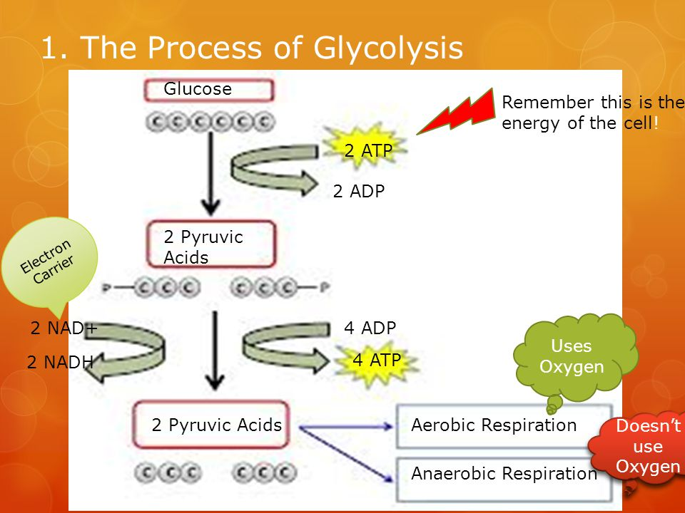 1. The Process of Glycolysis