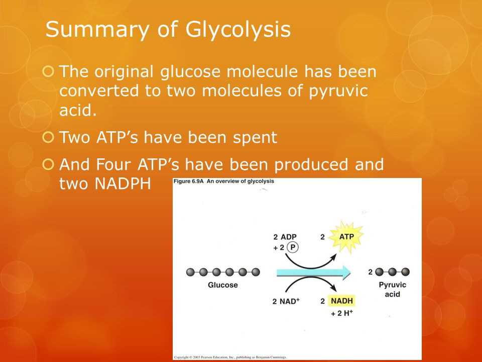 Summary of Glycolysis The original glucose molecule has been converted to two molecules of pyruvic acid.