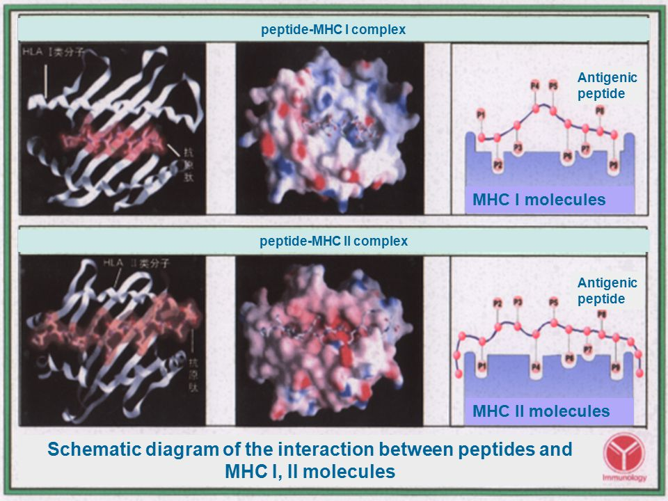 major histocompatibility complex molecules
