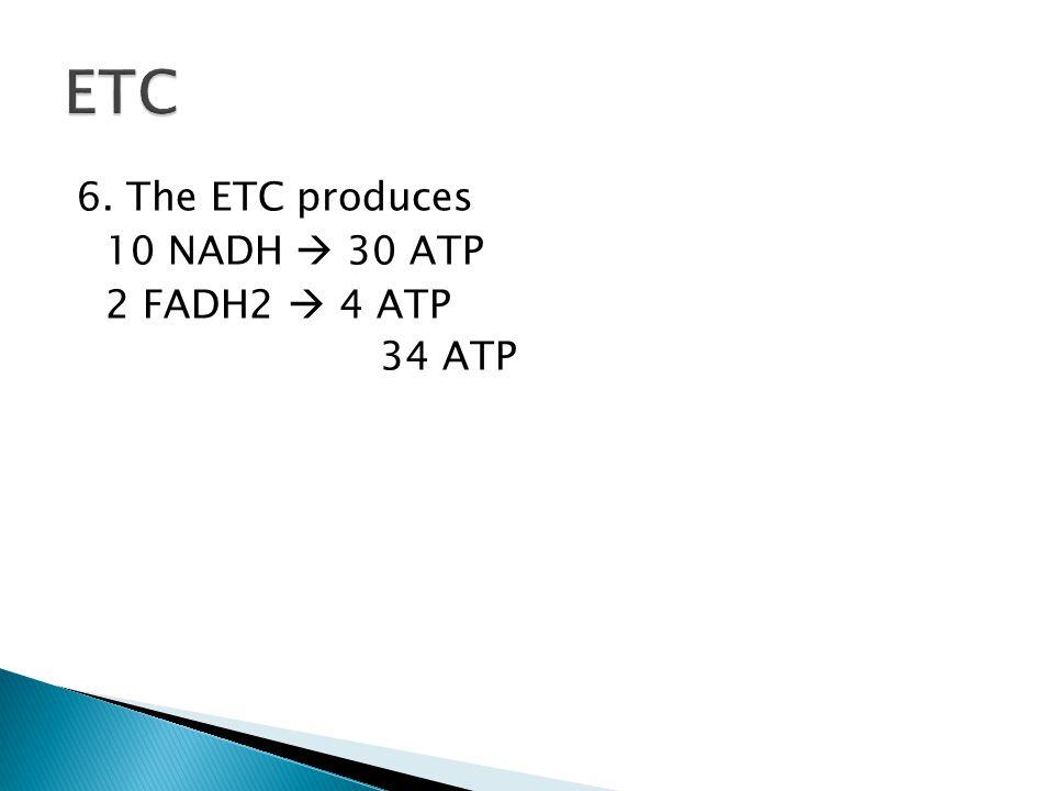 ETC 6. The ETC produces 10 NADH  30 ATP 2 FADH2  4 ATP 34 ATP