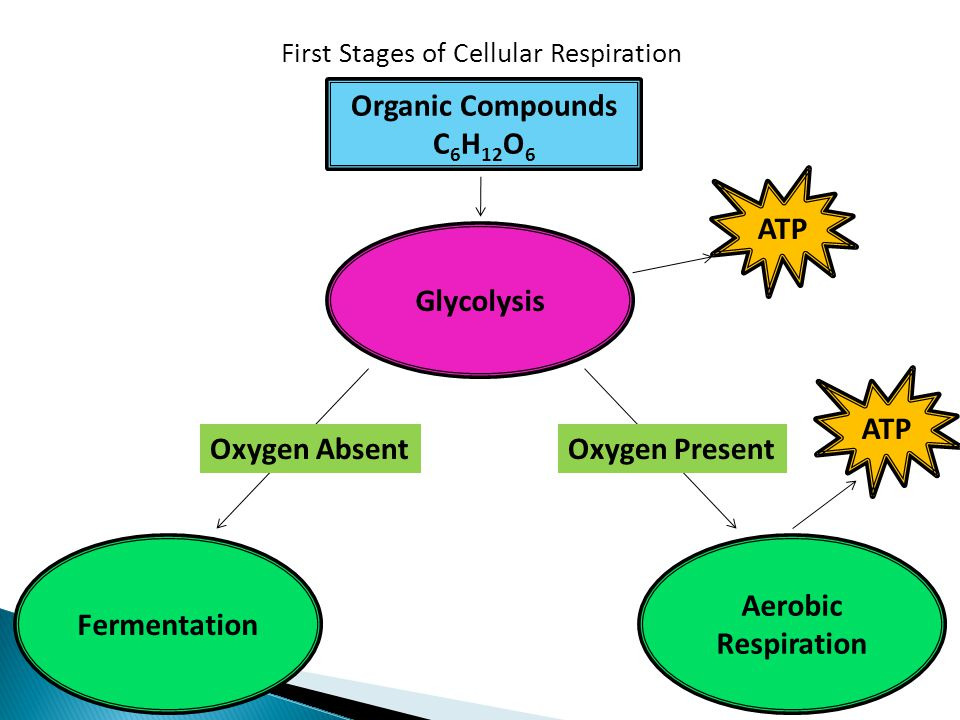 Organic Compounds C6H12O6 ATP Glycolysis ATP Oxygen Absent