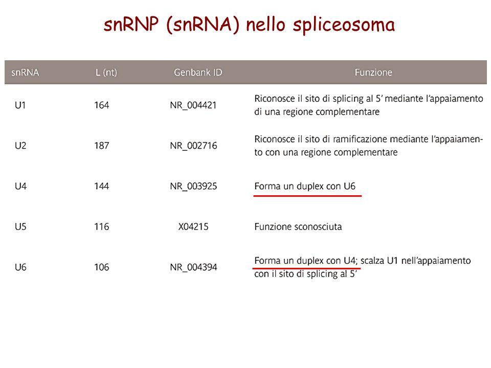 snRNP (snRNA) nello spliceosoma