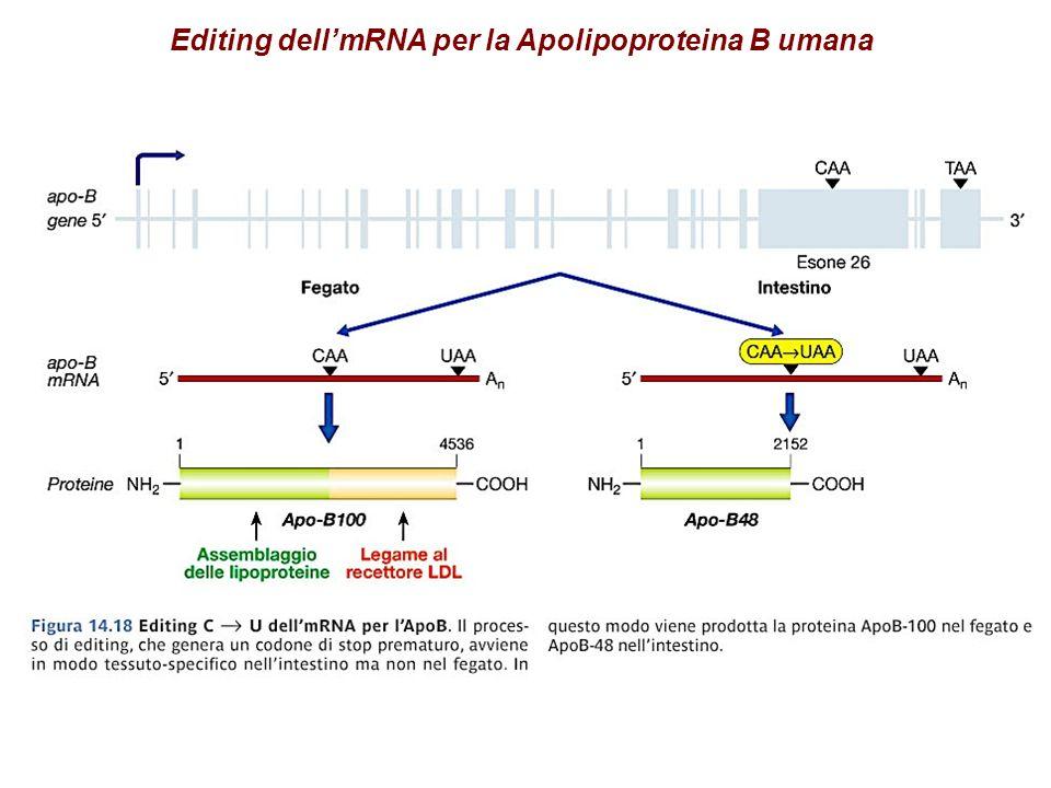 Editing dell'mRNA per la Apolipoproteina B umana