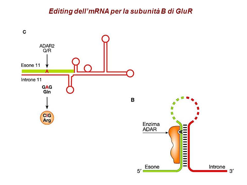 Editing dell'mRNA per la subunità B di GluR