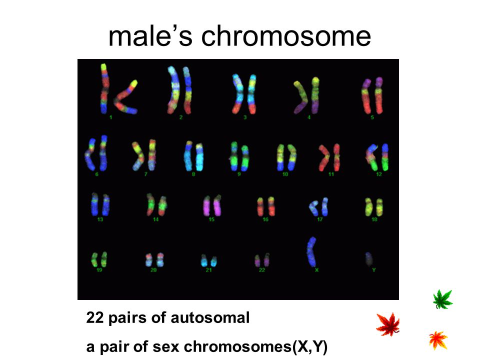 male's chromosome 22 pairs of autosomal a pair of sex chromosomes(X,Y)