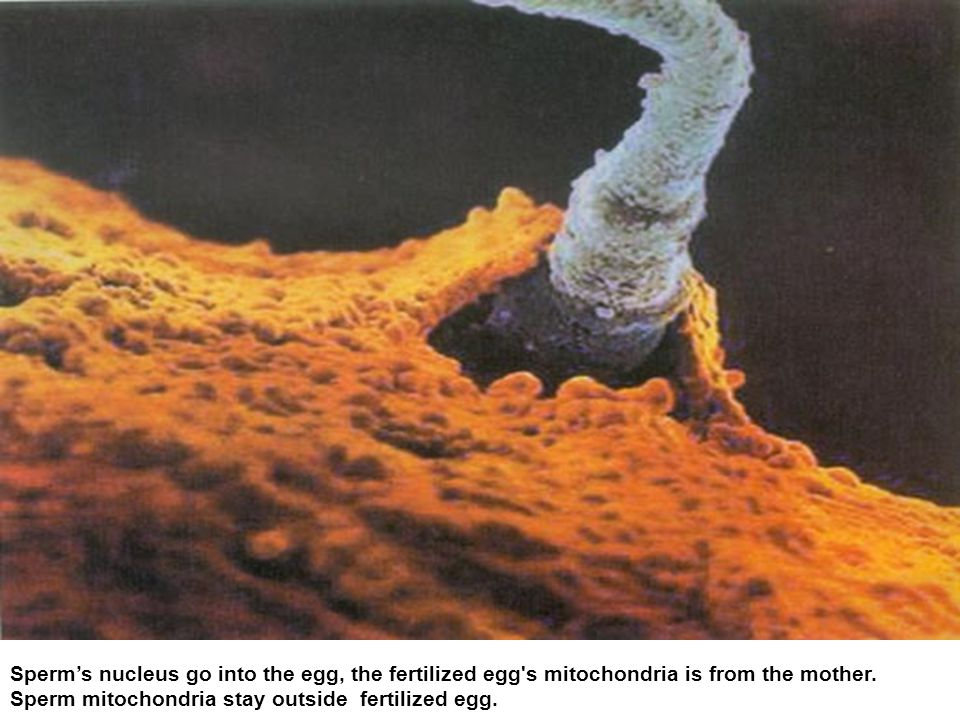 Sperm mitochondria stay outside fertilized egg.