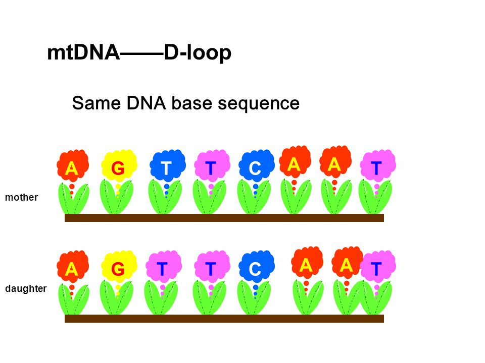 mtDNA——D-loop Same DNA base sequence A G T C A A A G T C mother