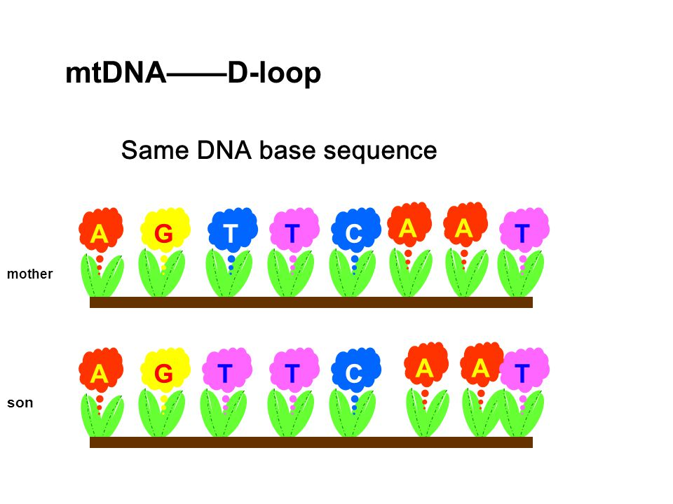 mtDNA——D-loop Same DNA base sequence A G T C mother A A A G T C son