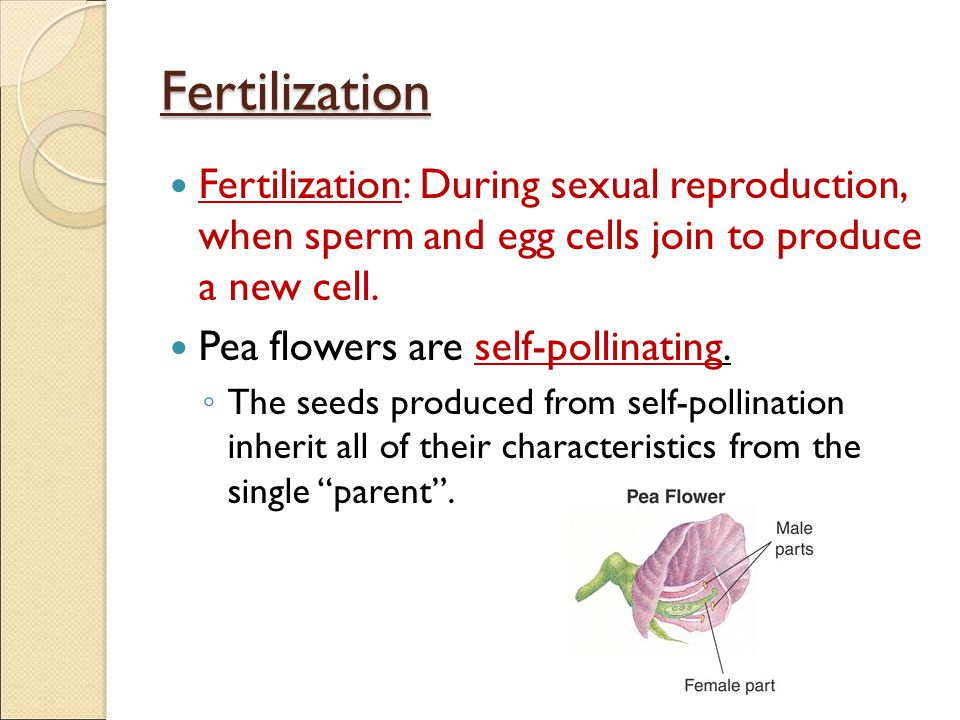 Fertilization Fertilization: During sexual reproduction, when sperm and egg cells join to produce a new cell.