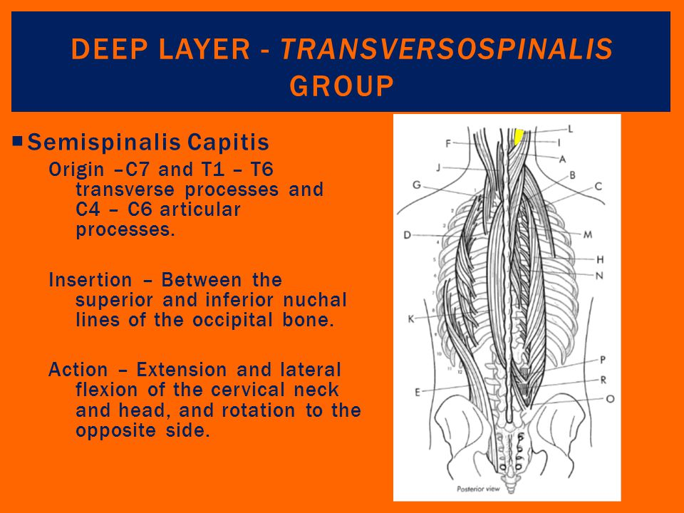 Deep Layer - Transversospinalis Group