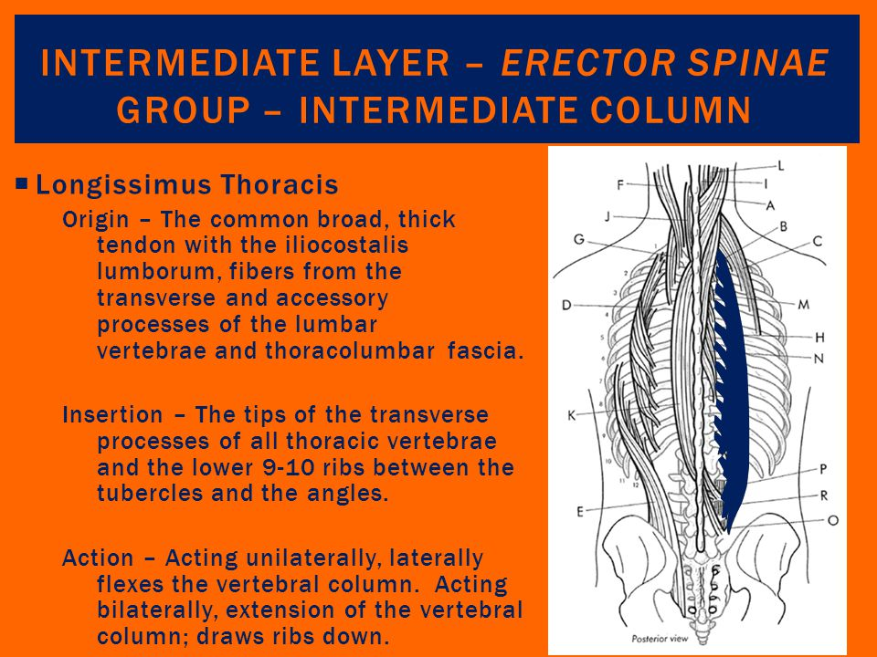 Intermediate Layer – Erector Spinae Group – Intermediate Column
