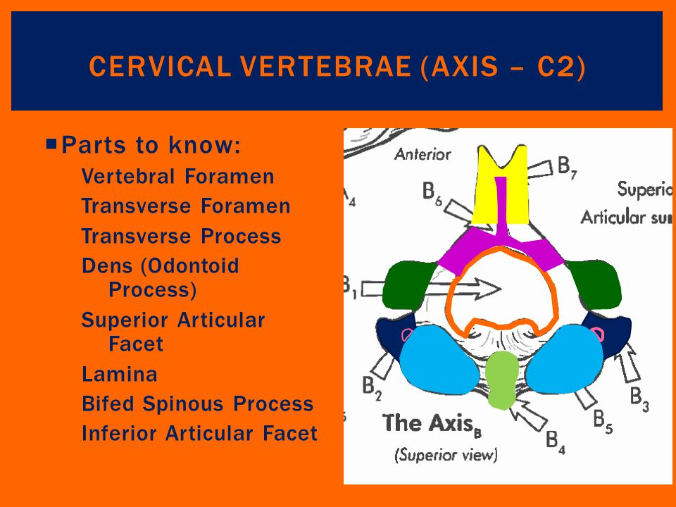 Cervical Vertebrae (Axis – C2)
