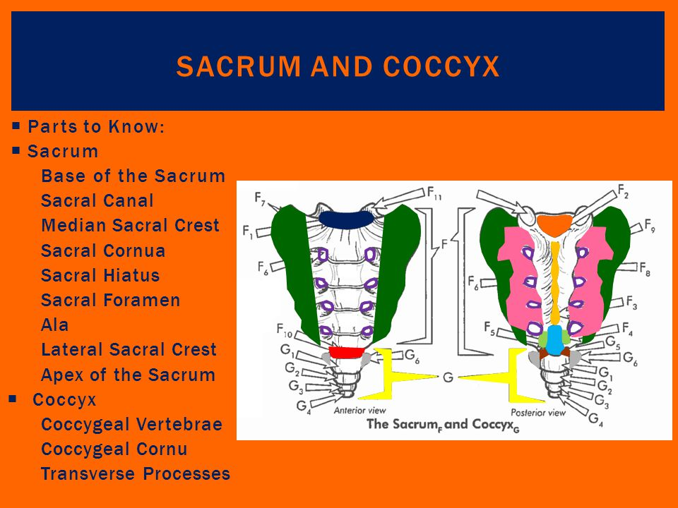 Sacrum and Coccyx Parts to Know: Sacrum Base of the Sacrum