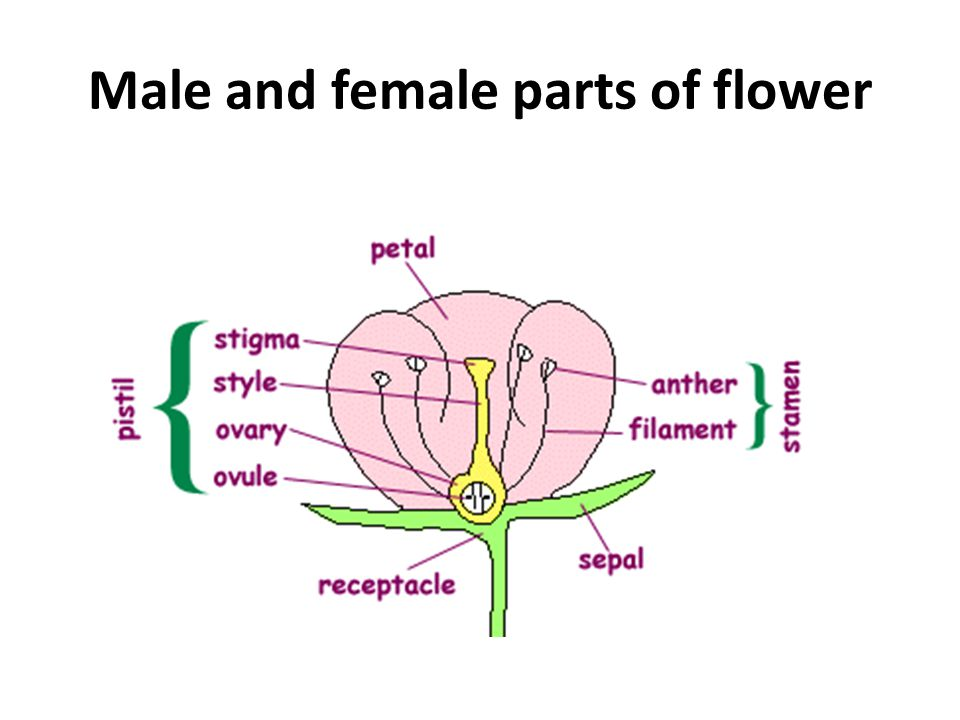 Male and female parts of flower