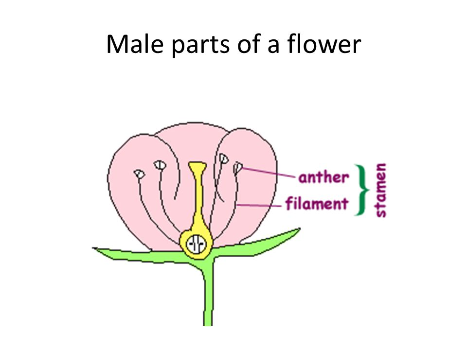 Male parts of a flower