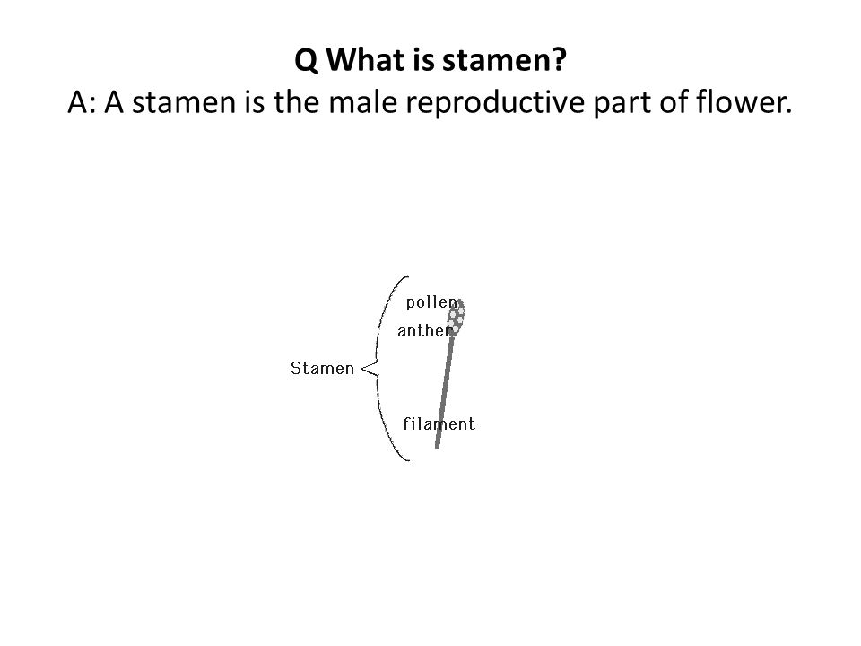 Q What is stamen A: A stamen is the male reproductive part of flower.