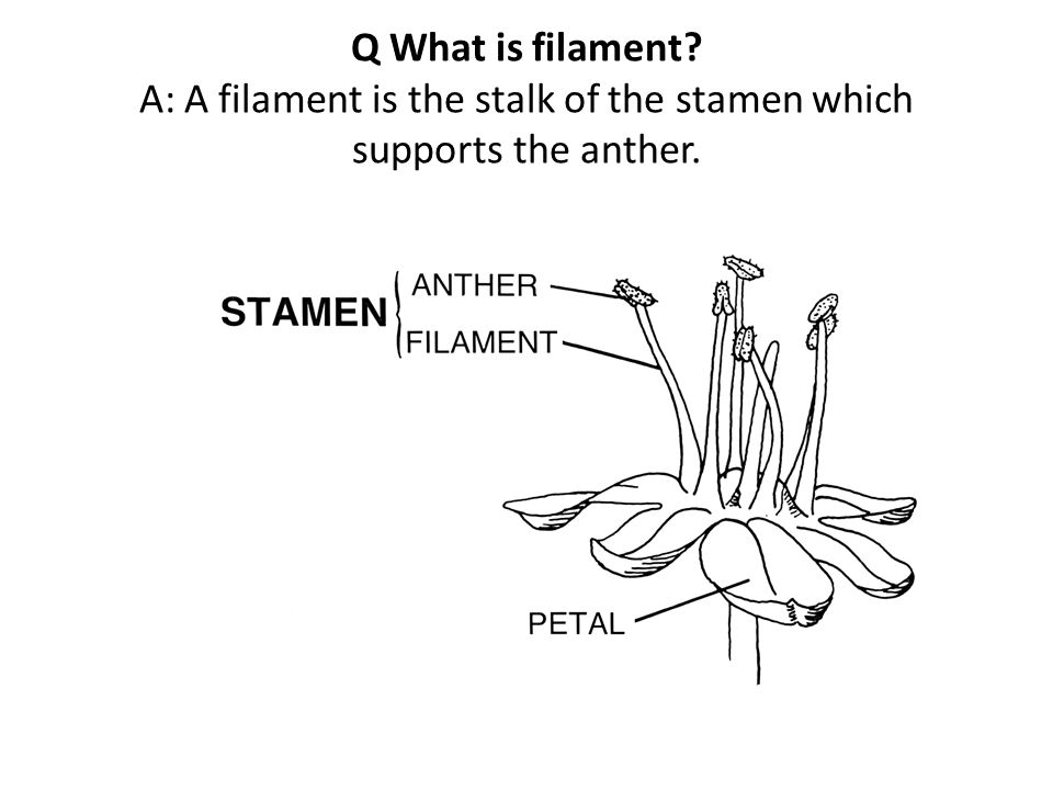 Q What is filament A: A filament is the stalk of the stamen which supports the anther.