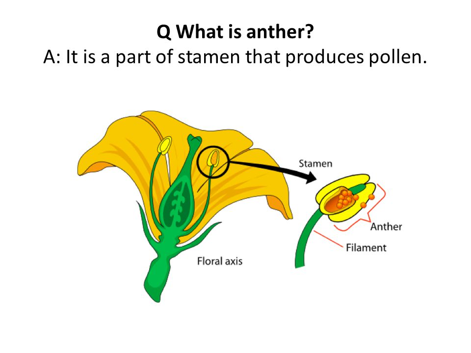 Q What is anther A: It is a part of stamen that produces pollen.
