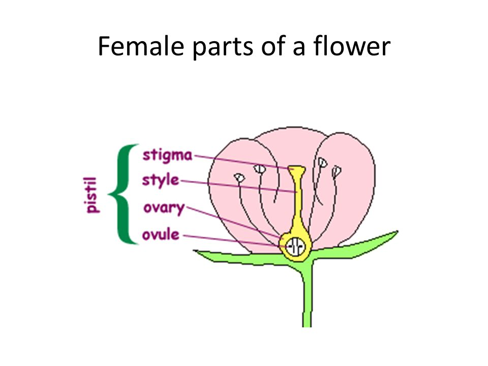 Female parts of a flower