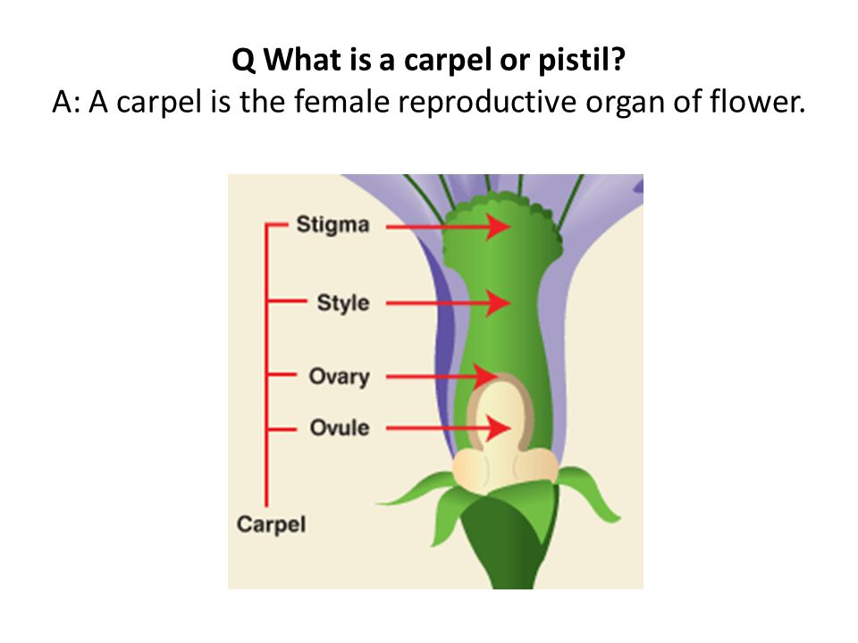 Q What is a carpel or pistil