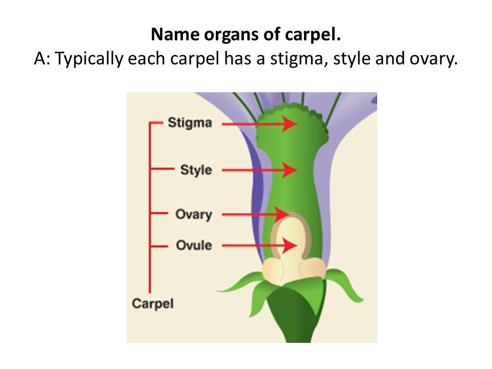 Name organs of carpel. A: Typically each carpel has a stigma, style and ovary.