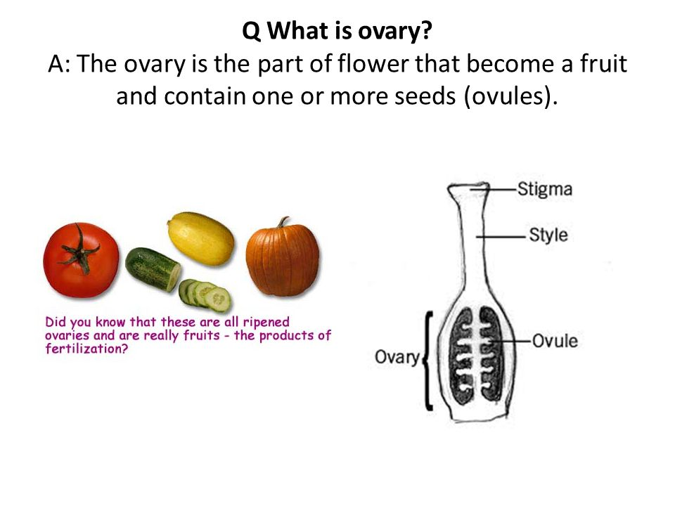 Q What is ovary.