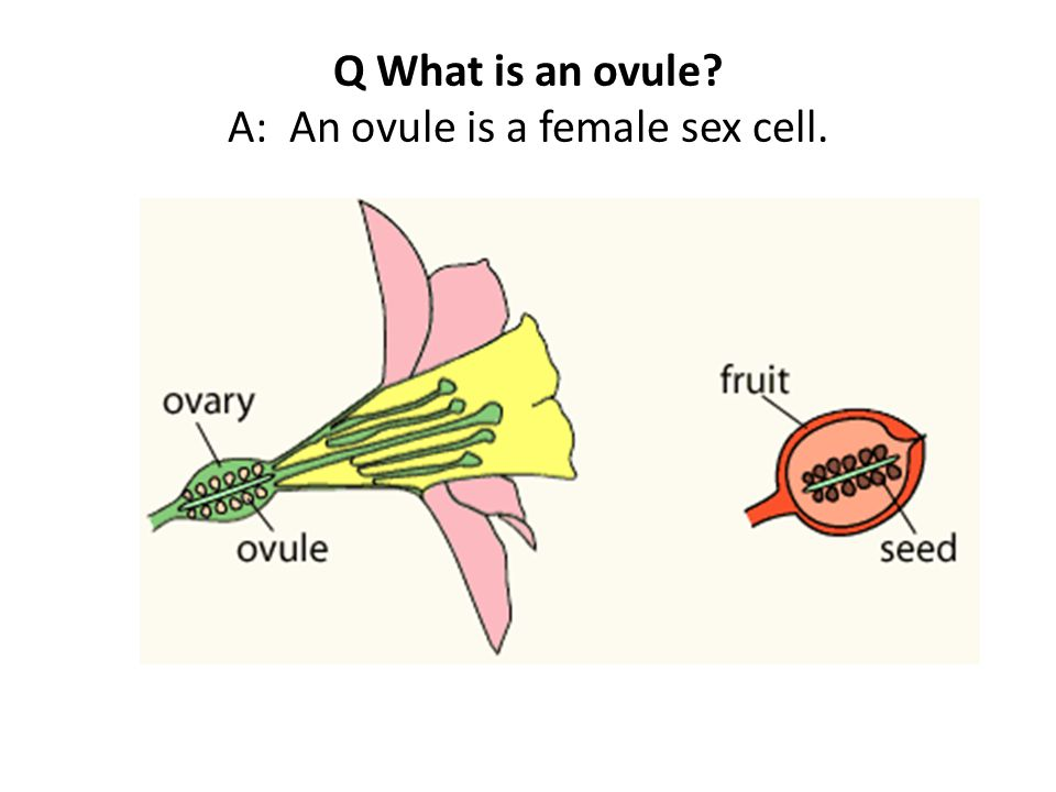 Q What is an ovule A: An ovule is a female sex cell.