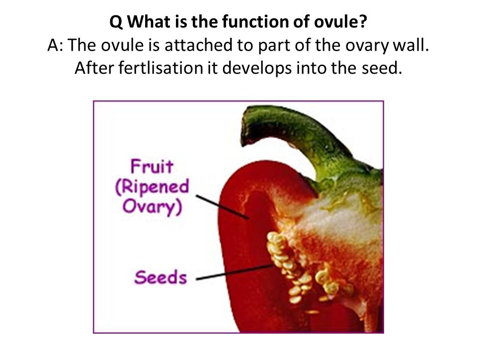 Q What is the function of ovule