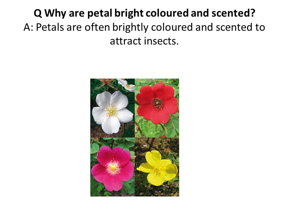 Q Why are petal bright coloured and scented