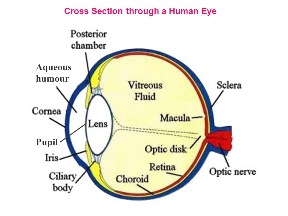 Cross Section through a Human Eye
