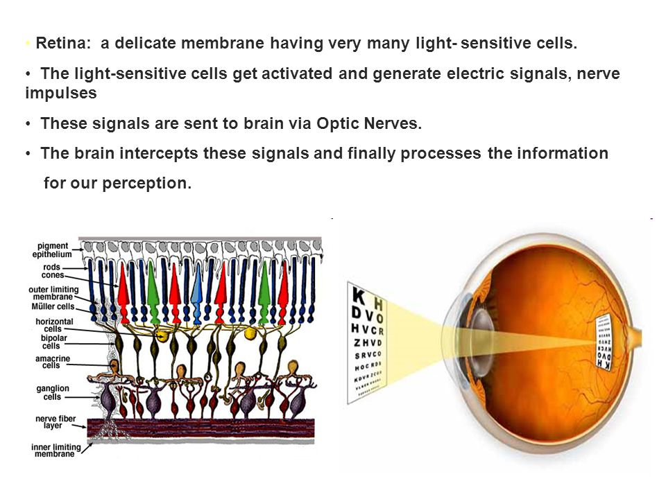 Retina: a delicate membrane having very many light- sensitive cells.