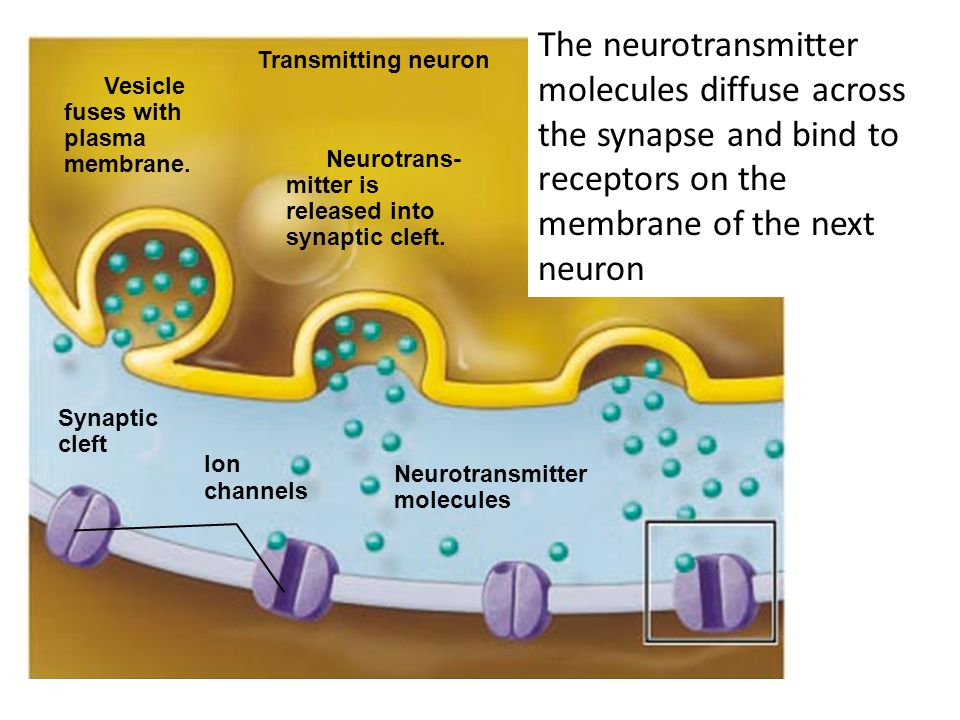 The neurotransmitter molecules diffuse across the synapse and bind to receptors on the membrane of the next neuron