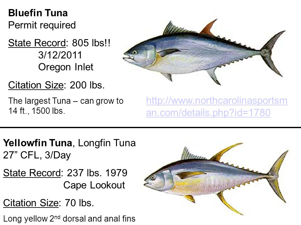 Nc fish identification ppt video online download for Tuna fish size