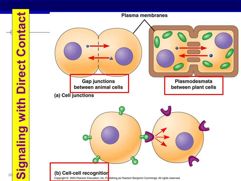 cell signaling ap bio essay Check out our free guide to the ap biology exam  the free response section  consists of two long-form free-response questions, one of which is lab   eukaryotic cells organelles membranes and transport cell junctions cell  communication.