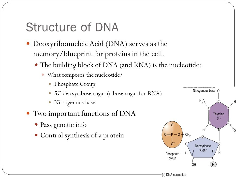 Chapter 8 dna and rna biology ppt download structure of dna deoxyribonucleic acid dna serves as the memoryblueprint for proteins malvernweather Choice Image