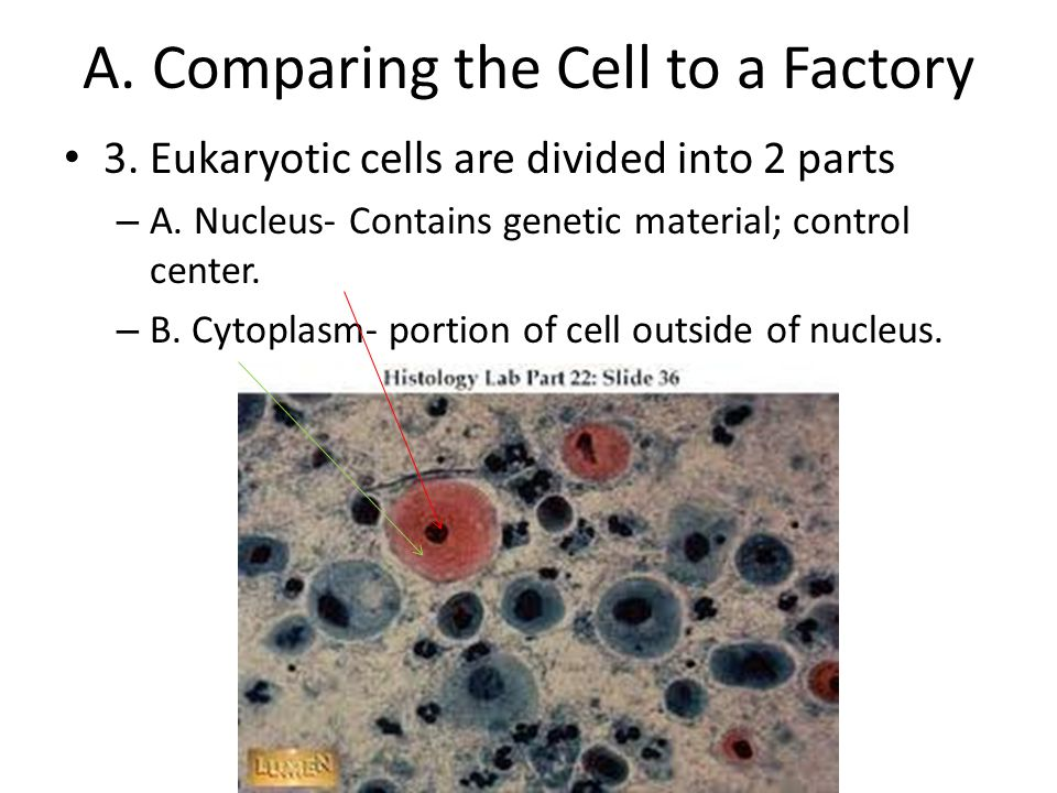 comparing a cell to a factory This answer sheet, from a science netlinks lesson, provides correct responses to a student sheet wherein students had to name a cell part that functions most like a factory worker.