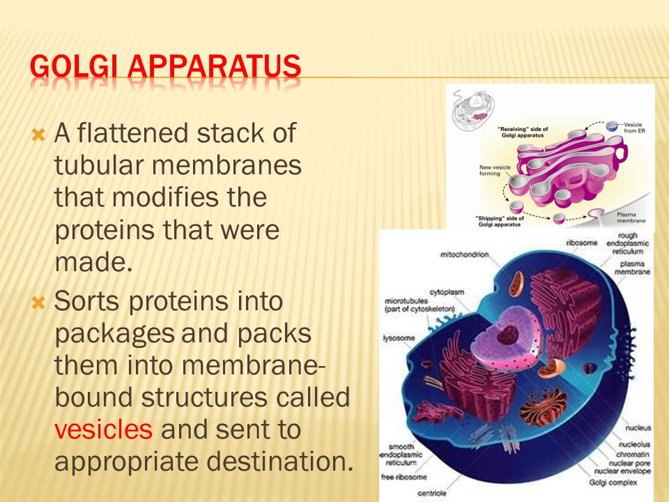 Golgi Apparatus A flattened stack of tubular membranes that modifies the proteins that were made.