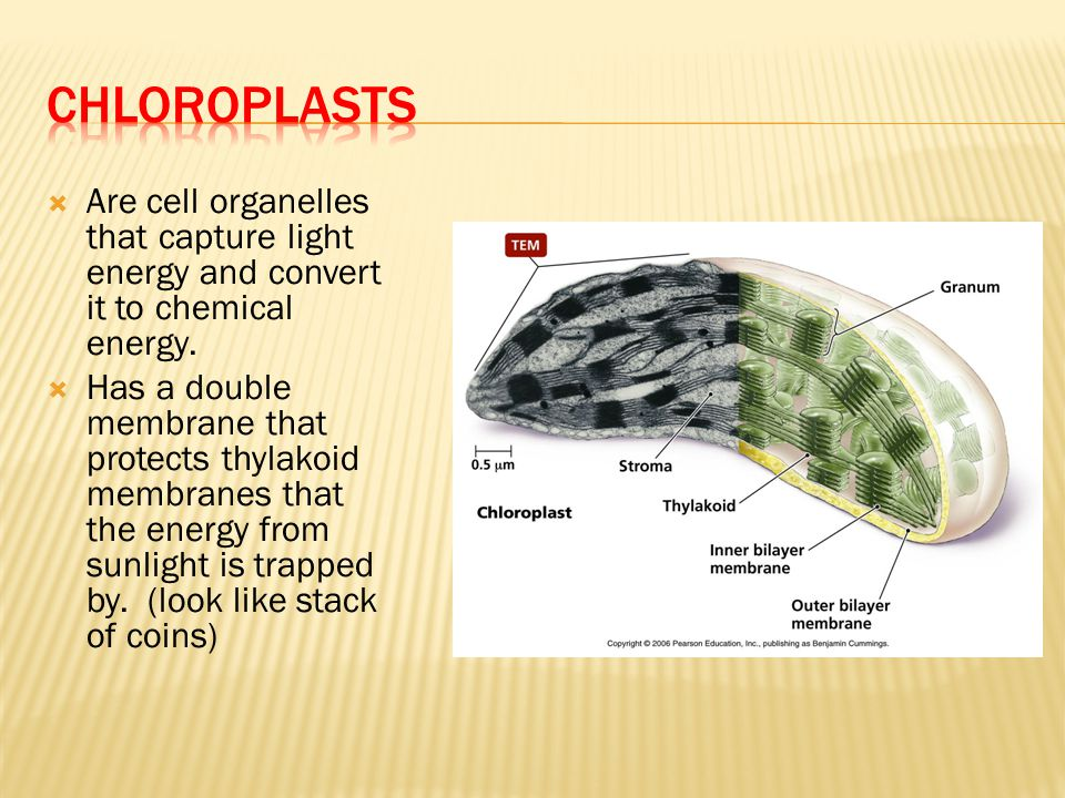 Chloroplasts Are cell organelles that capture light energy and convert it to chemical energy.