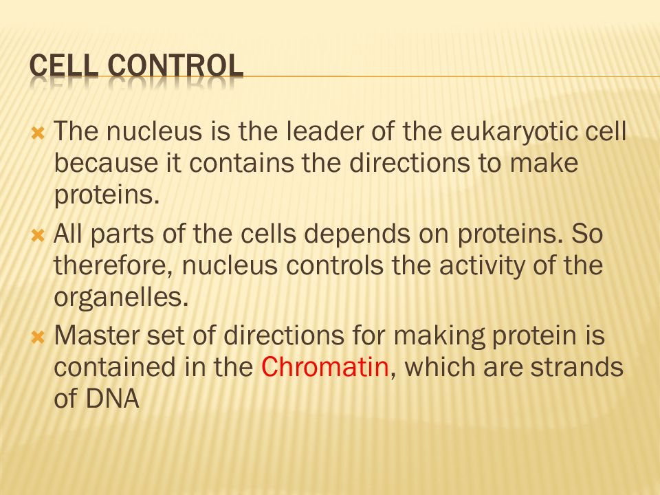Cell control The nucleus is the leader of the eukaryotic cell because it contains the directions to make proteins.