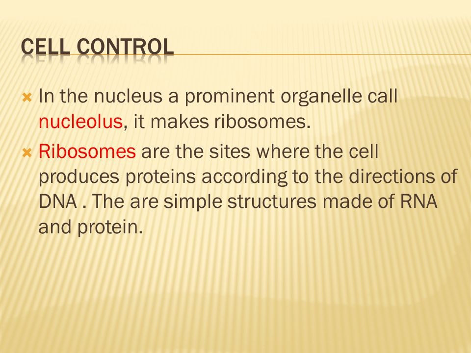 Cell Control In the nucleus a prominent organelle call nucleolus, it makes ribosomes.