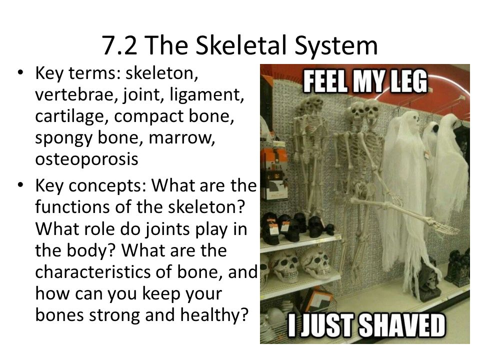 7.2 The Skeletal System Key terms: skeleton, vertebrae, joint, ligament, cartilage, compact bone, spongy bone, marrow, osteoporosis.