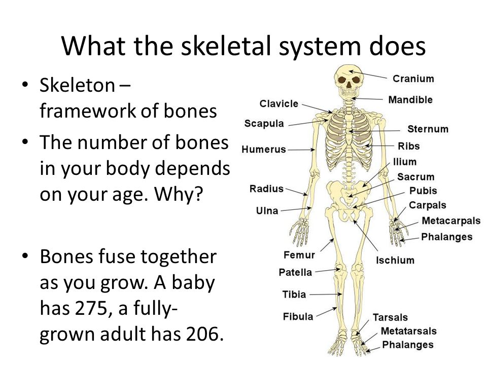 What the skeletal system does
