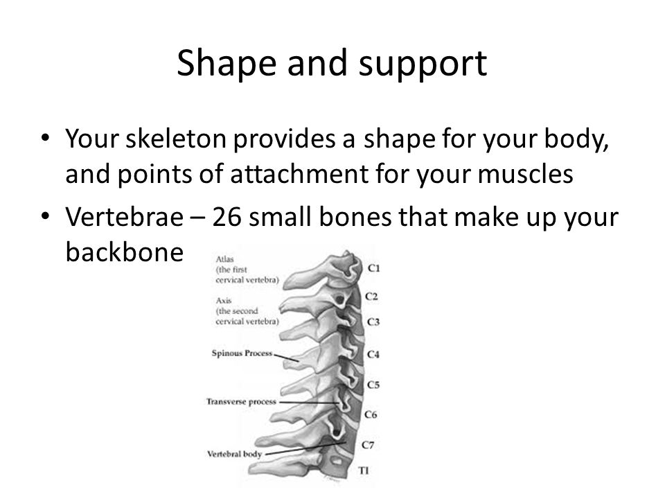 Shape and support Your skeleton provides a shape for your body, and points of attachment for your muscles.