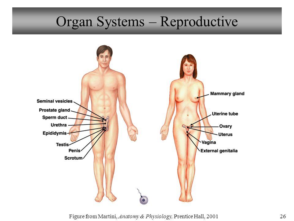 Ausgezeichnet Anatomy And Physiology Organ Systems Zeitgenössisch ...