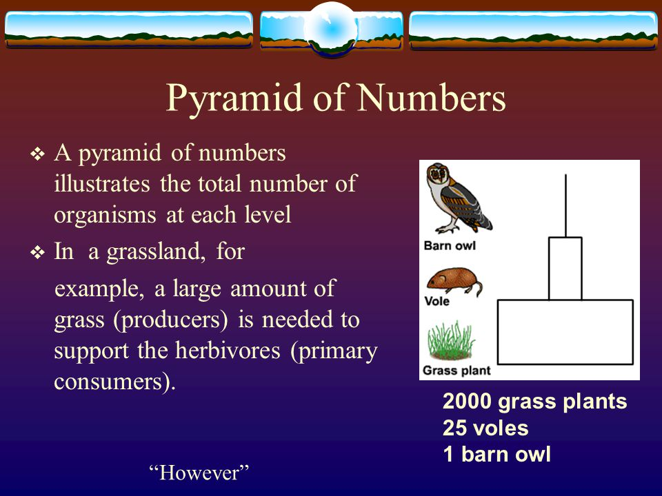 Pyramid of Numbers A pyramid of numbers illustrates the total number of organisms at each level. In a grassland, for.