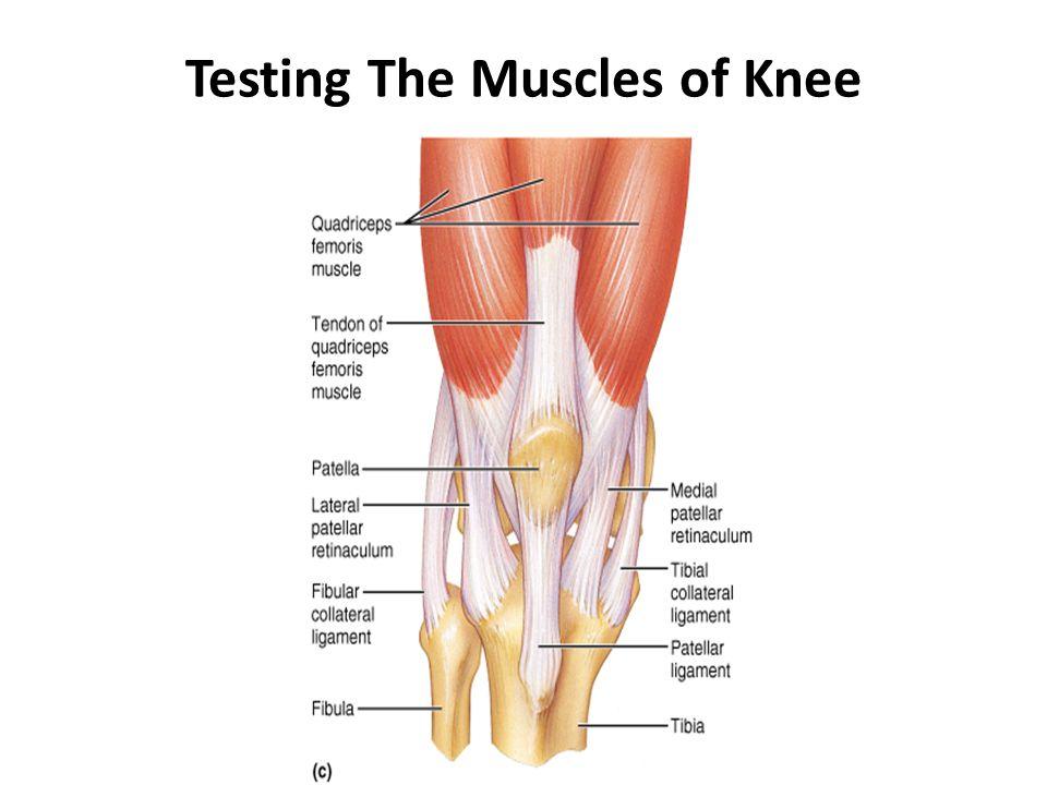 Muscles of Hip and Knee  Knee  Hip  ptscribdcom