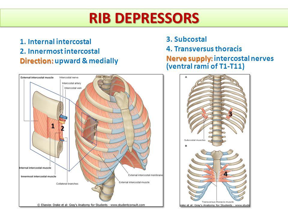 rib nerve diagram rib head diagram