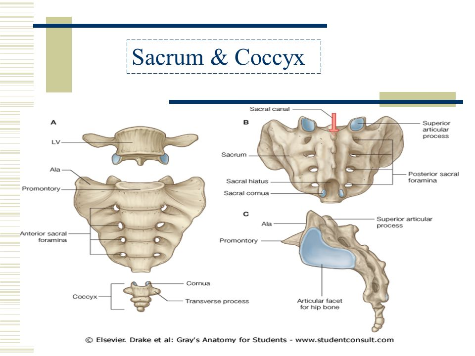 Anatomy of the coccyx