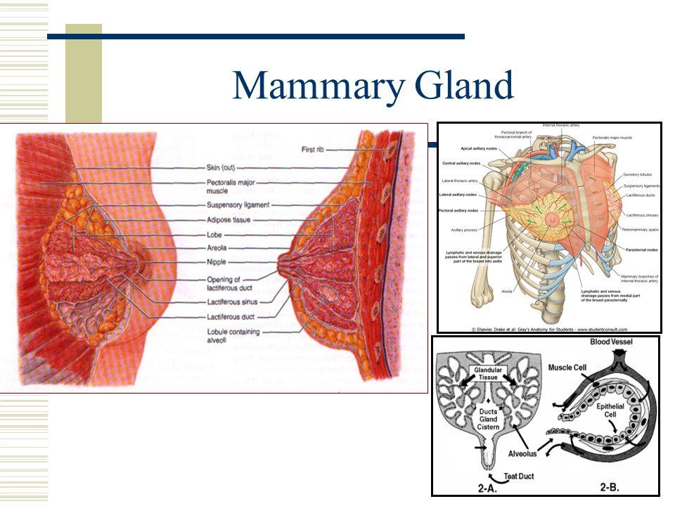 Anatomy of mammary gland 6849134 - follow4more.info